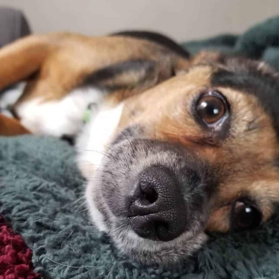Dachshund Beagles