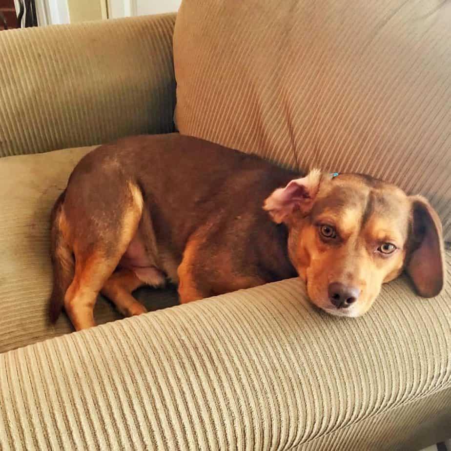 Beagle Dachshunds
