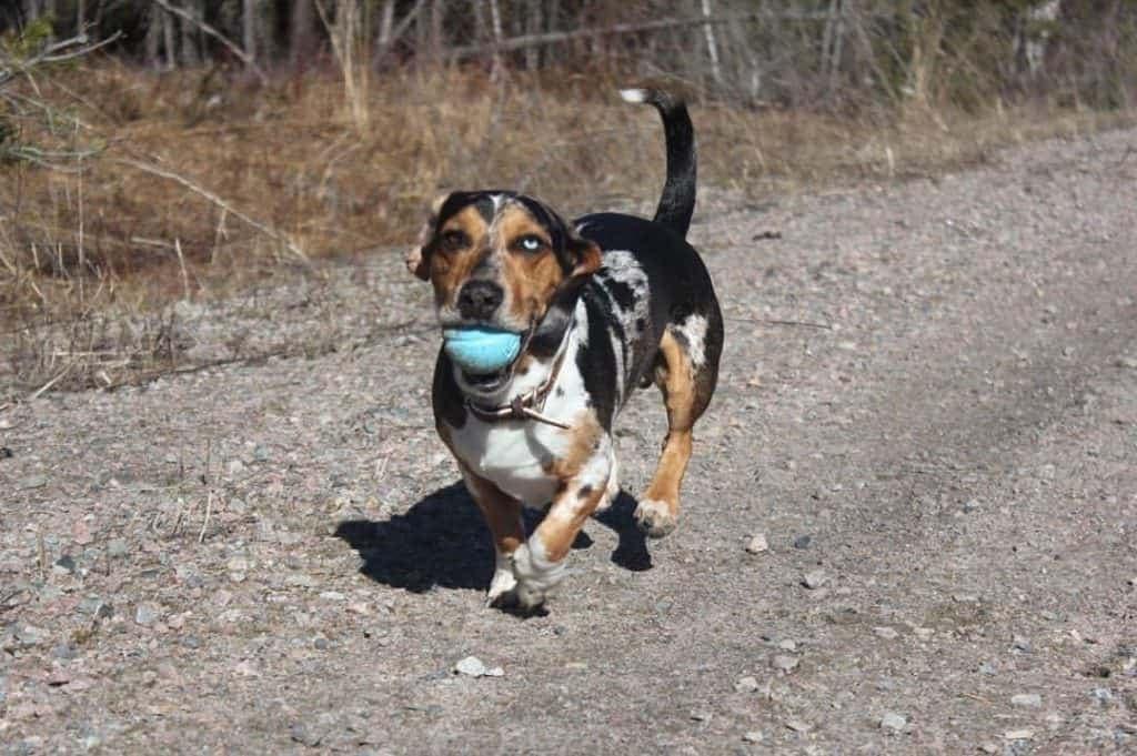 Beagle Dachshund Cross