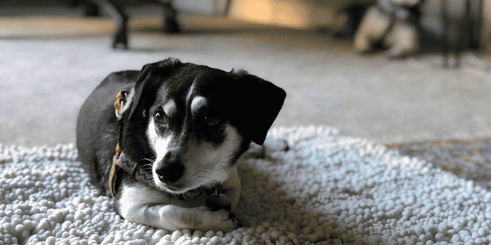 Rat Terrier Dachshund Mix: The Tiny Turbulent Troublemaker