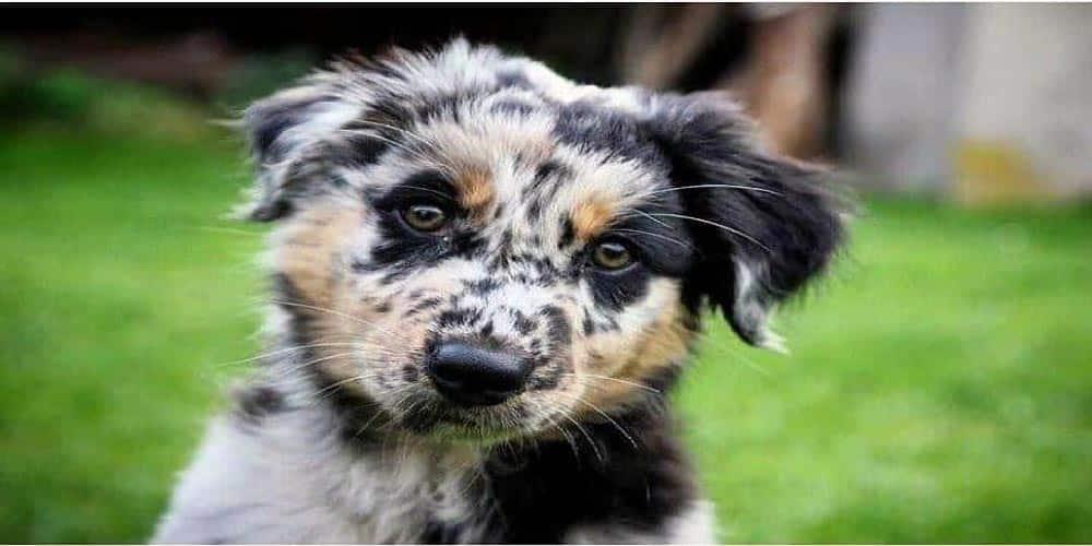 Blue Heeler Australian Shepherd Mix Facts