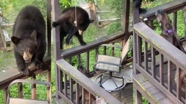Watch A Brave Dog Defends His Home Against A Surprised Bear