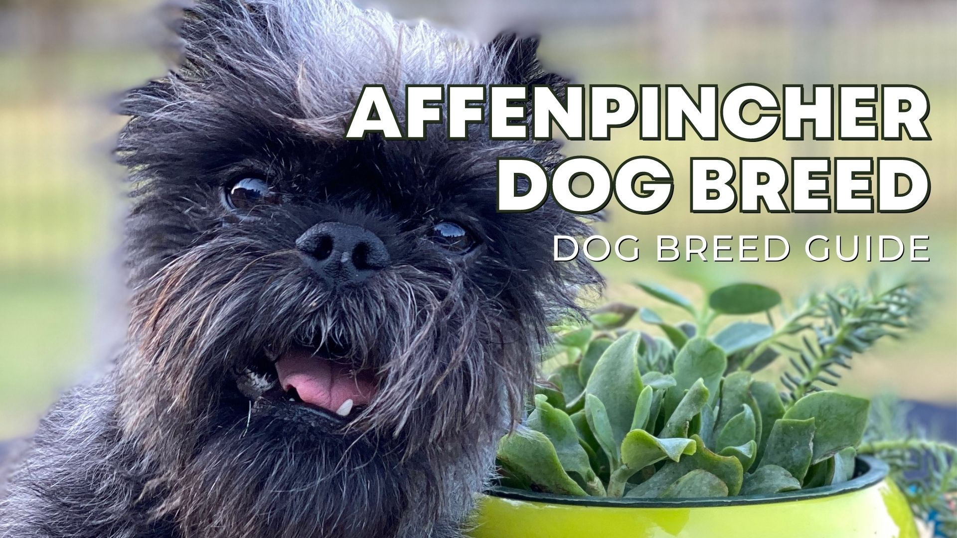 Affenpinscher Dog Breed Guide: Facts, Health & Care