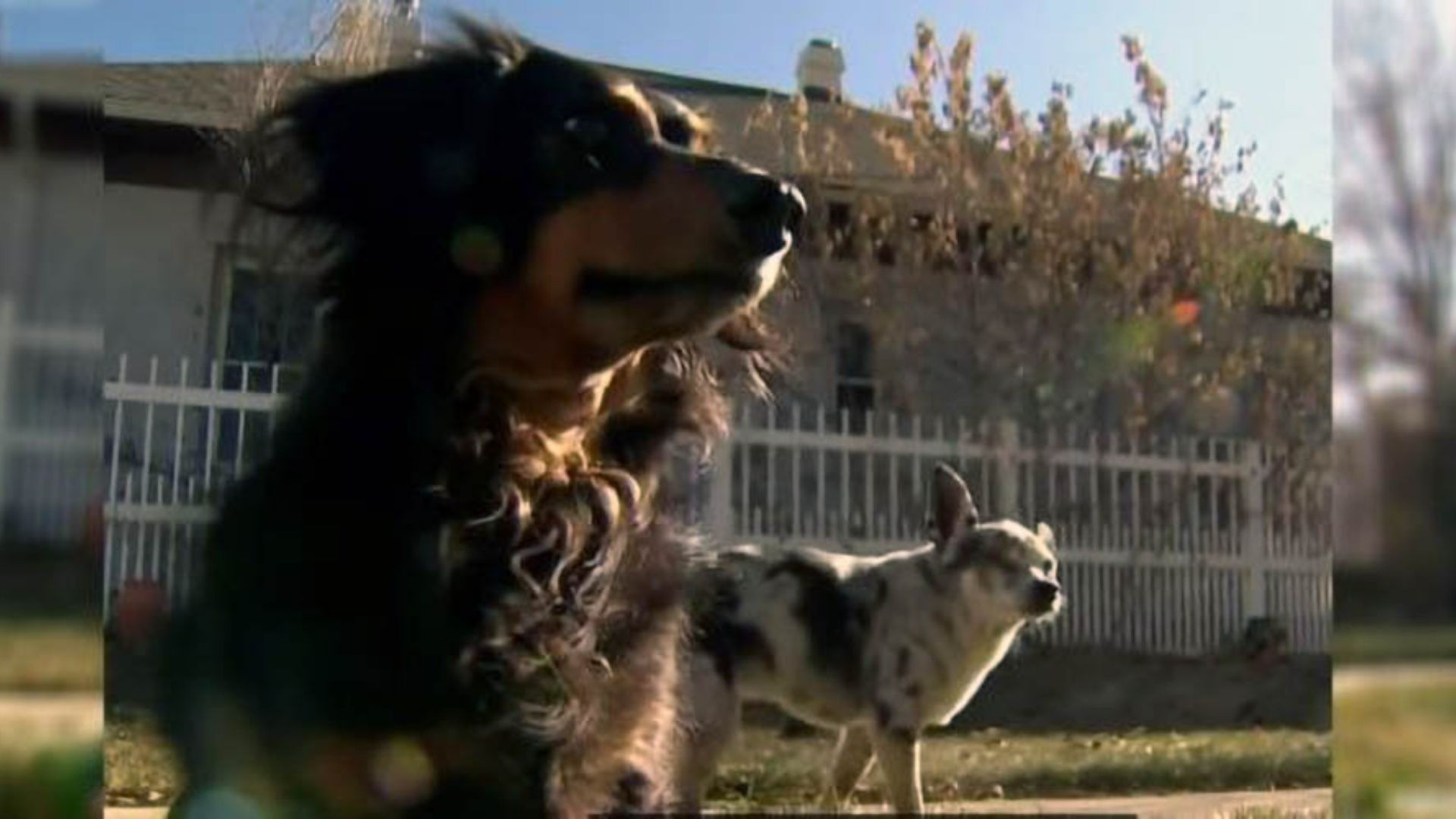 Brave Dachshund Saves Smaller Dog From Shocking Mountain Lion Attack