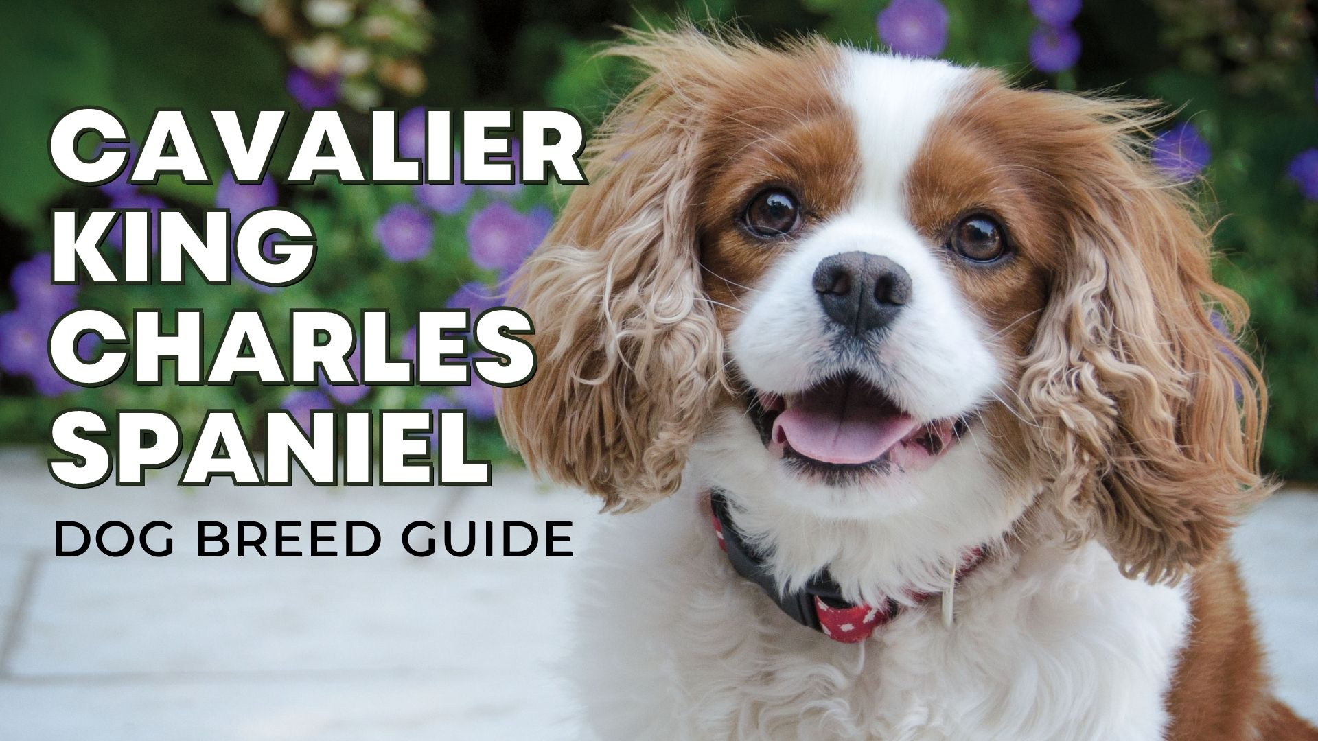 Dog Breed Guide: The Cavalier King Charles Spaniel