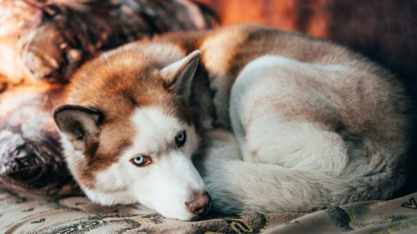 Amoxicillin is a broad-spectrum antibiotic that your vet prescribes to your dog for a bacterial infection.