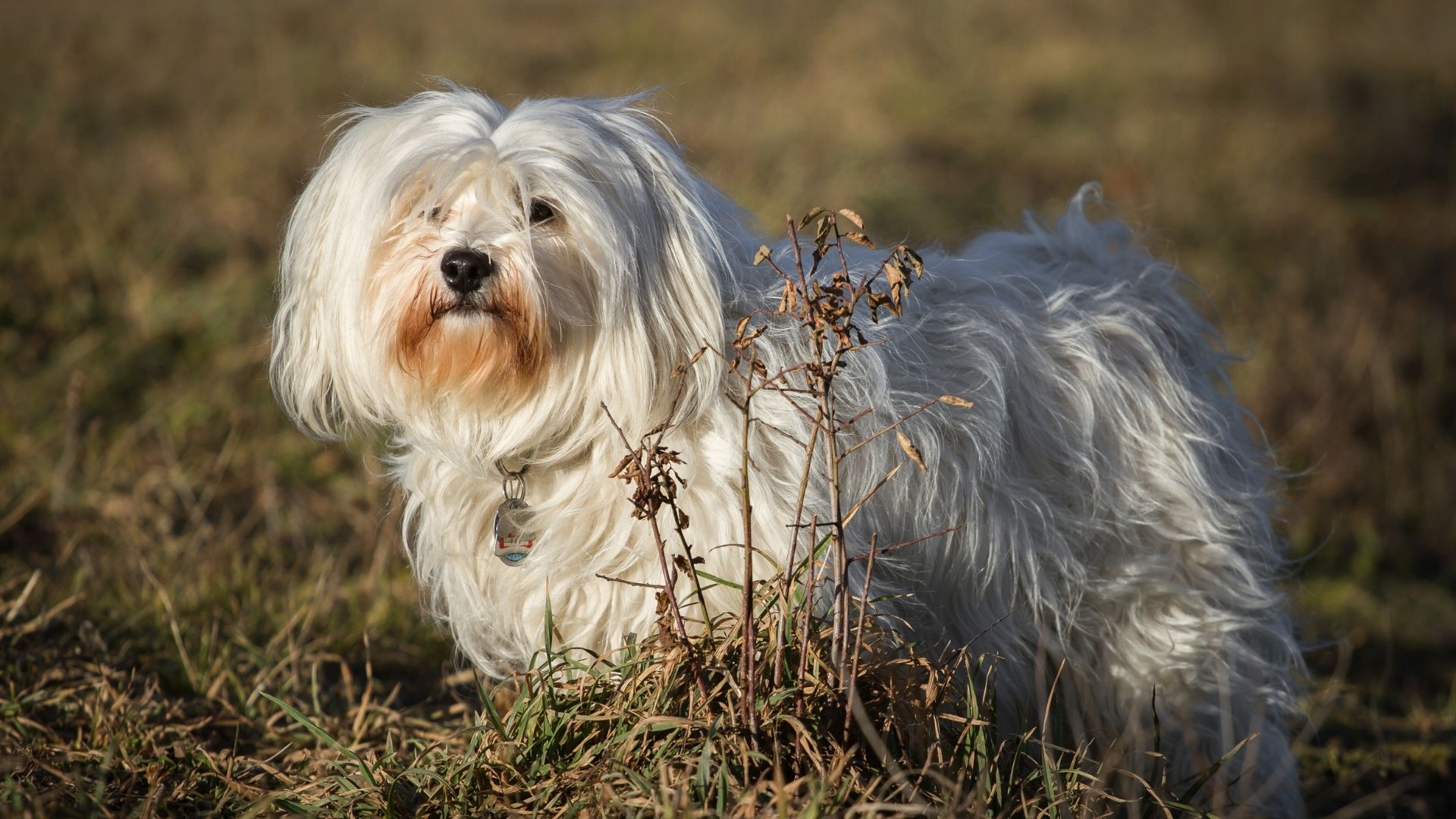 Havanese Dog Breed Guide: Facts, Health & Care