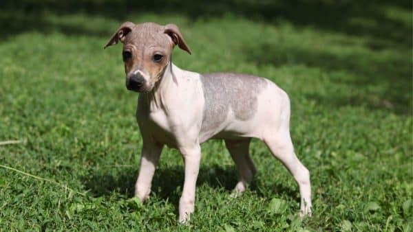 American Hairless Terrier