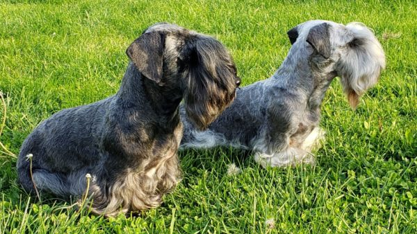Cesky Terrier Dog Breed Guide: Facts, Health & Care
