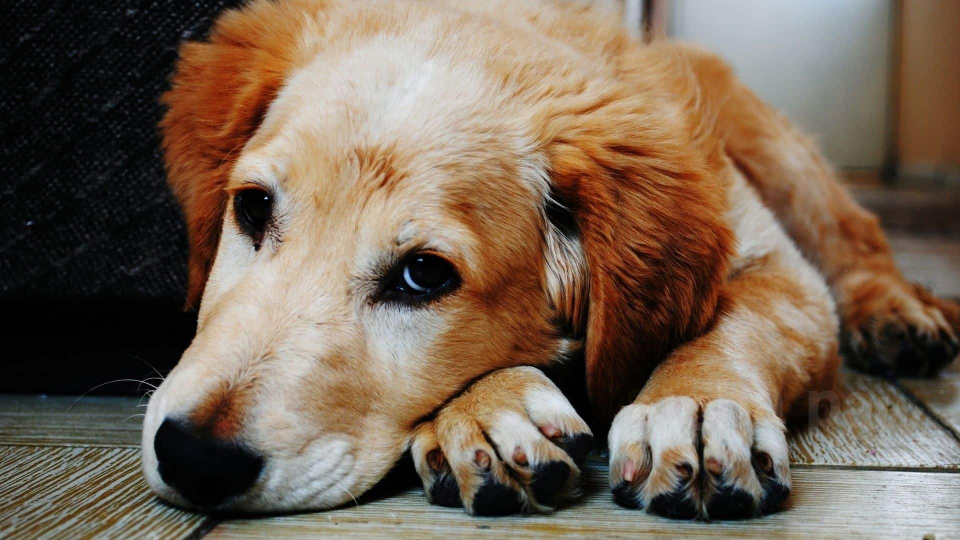 Contagious Dog Diseases: A Pet Parent Guide
