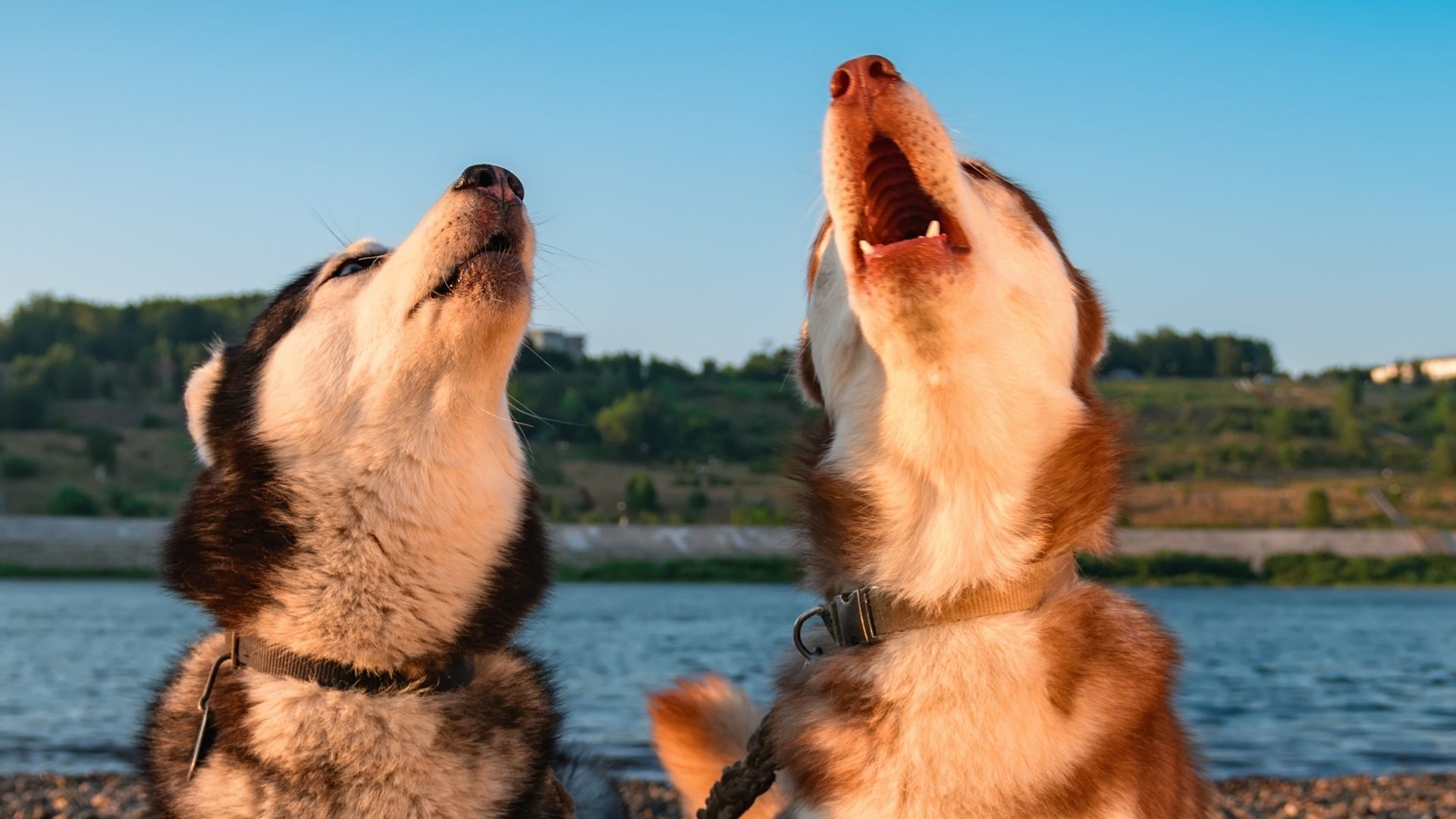 Why Is My Dog Howling? Causes, Treatment, and Prevention