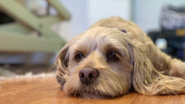 Does Your Dog Have Intervertebral Disc Disease (IVDD) Or Degenerative Myelopathy (DM)?